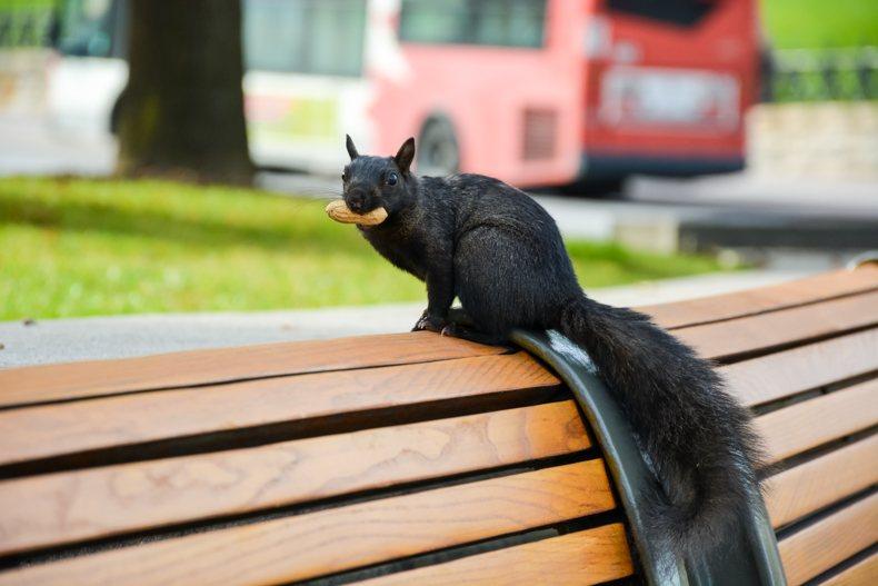 Black squirrel Ottawa